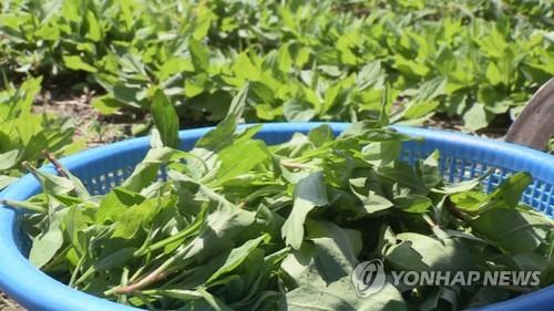 '봄 내음 물씬' 강원 산나물 한마당..