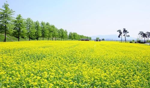구리시 올해 한강 유채꽃 축제 시내로 확대 개최