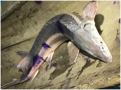 희귀종 철갑상어 카자흐 우랄강에서 9년만에 발견