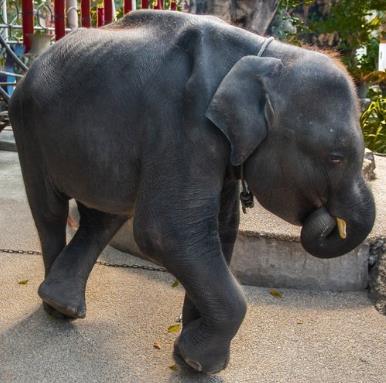 비극의 아기코끼리 덤보…푸껫서 강제공연 시달리다 끝내 숨져