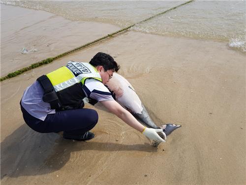 보령서 멸종 위기 돌고래 '상괭이' 사체 발견