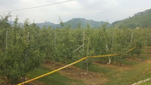 원주 사과농가에서 과수화상병 발생…방제 비상