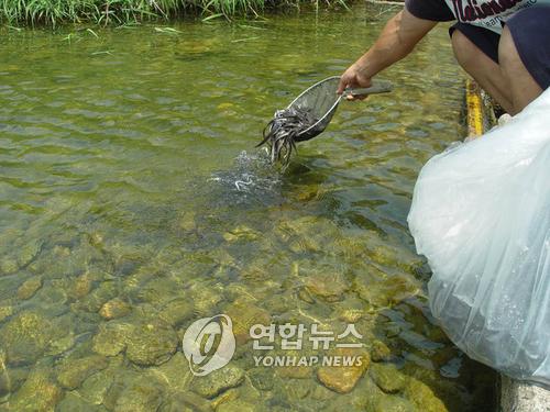 춘천시 올해 어류 115만8천 마리 방류…내수면 수산자원 회복