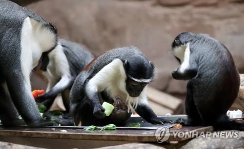 롤로웨이 원숭이 등 영장류 7종 '멸종 위험' 높아져