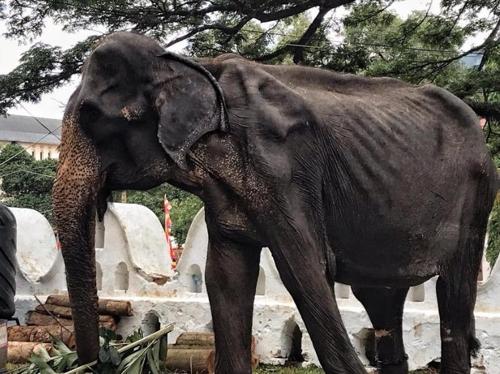 비쩍마른 코끼리 축제에 동원…스리랑카서 동물학대 논란