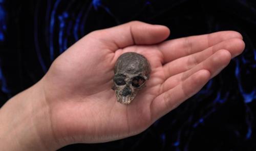 손바닥보다 작은 원숭이 두개골이 밝혀준 두뇌 진화 비밀