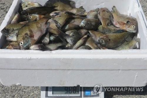 옥천군, 대청호서 잡힌 '생태계교란어종' 배스·블루길 7t 수매