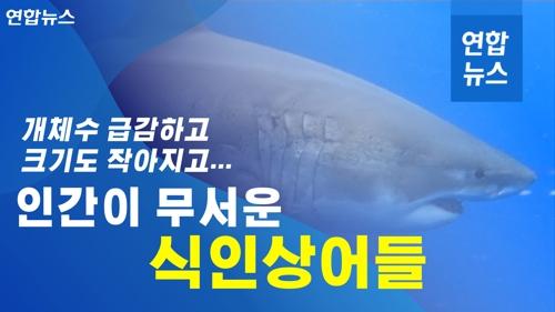개체 수 급감하고, 크기도 작아지고…인간이 무서운 식인상어들