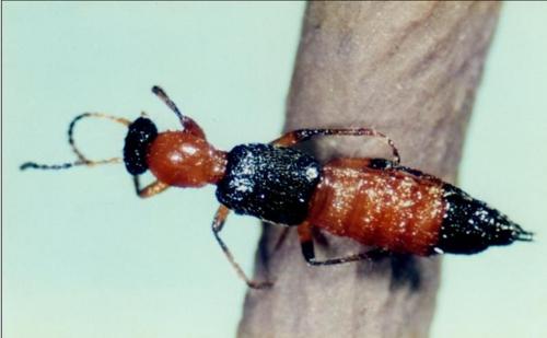 화상벌레, 동남아에서 유입된 외래종?