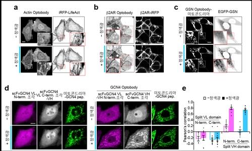 빛으로 면역 반응 조절한다…광유전학 기술 개발