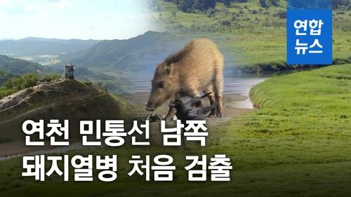 [영상] ASF 감염 6번째 야생 멧돼지 연천서 발견…민통선 아래에선 처..