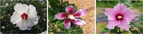 전북도, 무궁화 2종 품종 등록·1종은 품종 출원