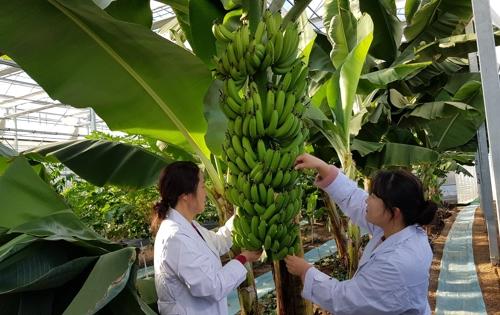 대구서 바나나 시험재배…달성군농업기술센터 스마트 온실 설치