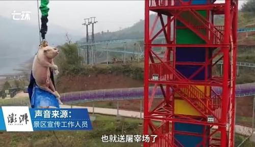 중국서 돼지를 강제로 '번지점프'…동물학대 여론뭇매