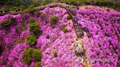 강화군, 코로나19로 '고려산 진달래 축제' 취소
