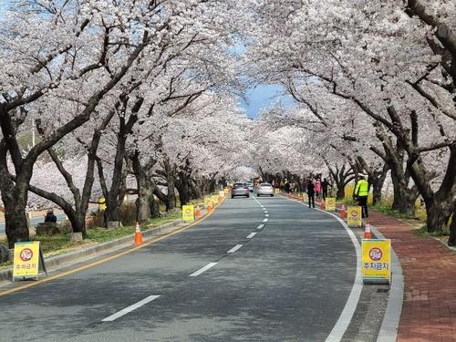 벚꽃 구경도 '드라이브 스루'…경주 차 흐름 비교적 원활