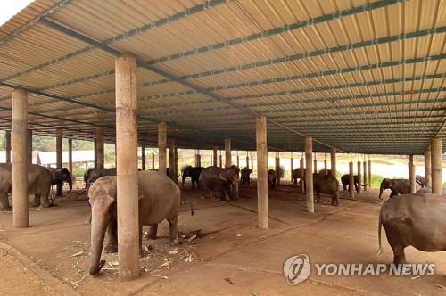 태국 코끼리, 코로나19 여파 관광객 급감으로 굶주림에 시달려