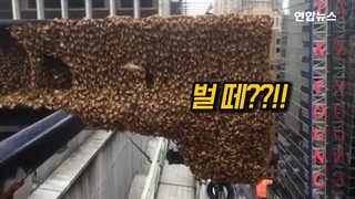 [현장영상] 뉴욕 타임스퀘어에 등장한 꿀벌 3만 마리