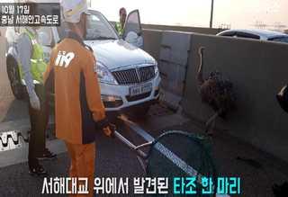 """서해대교 출몰한 타조 구조소동…""""운반중 탈출한듯"""""""