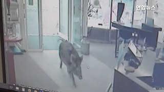 [현장영상] 독일 도심 상점가에 멧돼지…손님들 '혼비백산'