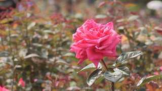 꽃향 가득 곡성 장미축제…차향 가득 보성 다향축제
