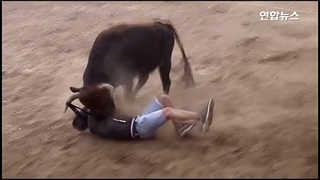 [현장] 성난 소들의 반란?…페루 황소축제 부상자 속출