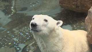 국내 유일 북극곰 '통키'…한국서 마지막 여름나기