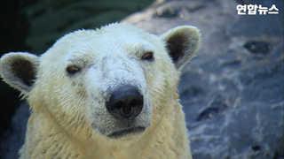 [현장] 국내 유일 북극곰 '통키' 영국 가요~