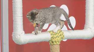 새끼 고양이들의 '키튼볼'…이색 입양행사 '인기'