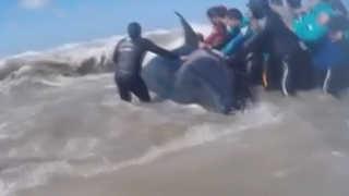 [영상] 해변에 고립된 무게 3천kg 범고래…이틀간의 구출 작전