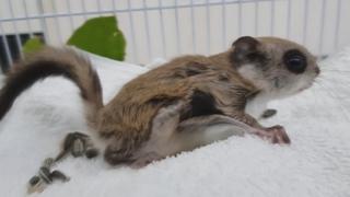 구조된 하늘다람쥐 자연으로…야생동물 구조 급증