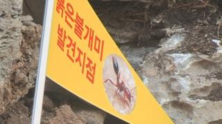 '구멍뚫린 검역' 국내 내륙서 '살인개미' 첫 발견…붉은불개미 확산 우려
