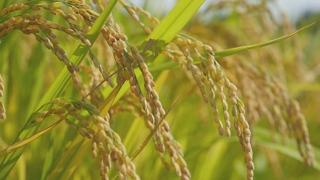 올해 쌀 생산 387만t 예상…쌀값 사상 최고