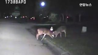 [영상] 순찰차에 포착된 '사슴들의 한밤 혈투'