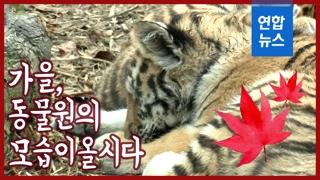 [영상] '가을잠 자는 튼실한 아기호랑이'…동물원 현장을 가다