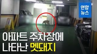 [영상] 서울 아파트 주차장에 멧돼지 출몰…일부 사살