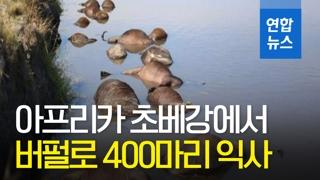[영상] 아프리카 초베강서 버펄로 400마리 '떼죽음'…이유가?