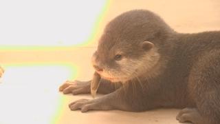 단양서 태어난 멸종위기 새끼 수달 1마리 폐사