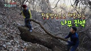 [트렌드 지금 여기] 전통방식으로 채취하는 나무 진액