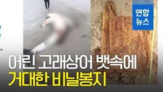 [영상] 폐사한 어린 고래상어 뱃속에 길이 46cm 비닐봉지가?