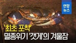[영상] 멸종위기 '갯게' 동면 모습 첫 촬영 성공