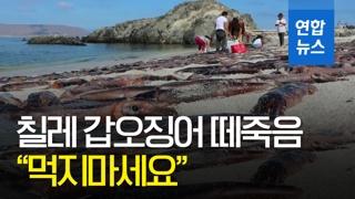 [영상] '먹지 말라고?'…칠레 해변서 갑오징어 떼죽음