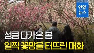 [영상] '일찍 찾아온 봄을 만나다'…제주 휴애리 매화축제
