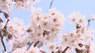 올해 벚꽃 4~7일 빨리 핀다…서울 4월 3일
