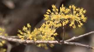'지리산에 찾아온 노란봄' 구례 산수유 꽃물결