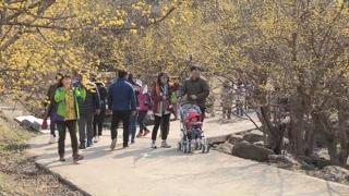 남도는 완연한 봄…구례 산수유 꽃물결