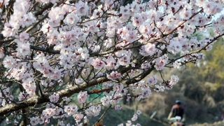 꽃망울 터뜨린 봄꽃…우리 동네는 언제?
