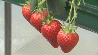 '향긋한 딸기향 가득'…논산 딸기축제 개막