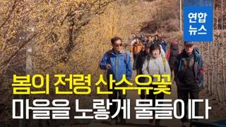 [영상] 봄의 시작을 알리다…경북 의성 산수유마을 꽃맞이 행사