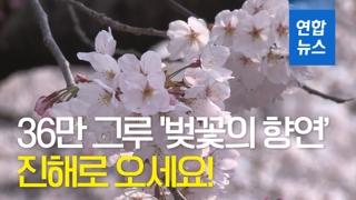 [영상] 36만 그루 '벚꽃의 향연'…진해로 오세요!